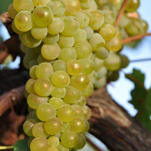 Viognier uva